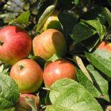 Яблоки для производства кальвадоса